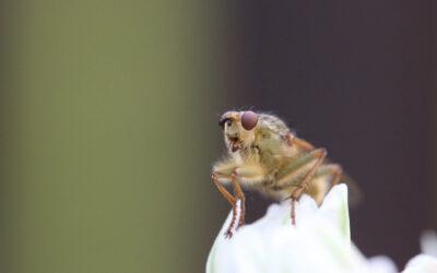 La mouche du vinaigre, un modèle pour l'étude des maladies humaines
